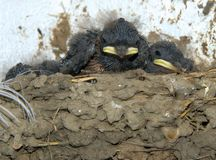 Baby swallow. Image of some baby swallows in a clay nest royalty free stock photo