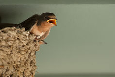 Baby Swallow in nest. Baby barn swallow on edge of mud nest stock photos