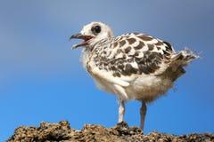 Baby Swallow-tailed Gull on Genovesa island in Galapagos Nationa Stock Image