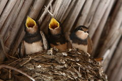 Baby swallows. In a nest, closeup stock photography