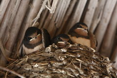 Baby swallows. In a nest, closeup royalty free stock photos