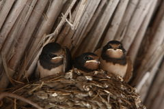 Baby swallows. In a nest, closeup stock photo