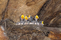 Baby swallows Royalty Free Stock Photo
