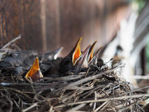 Baby swallows. In a crowded nest with mouths open for feeding time stock images