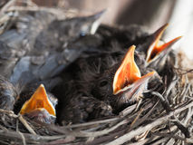 Baby swallows. In a crowded nest with mouths open for feeding time stock photos