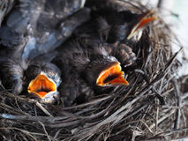 Baby swallows. In a crowded nest with mouths open for feeding time stock photo