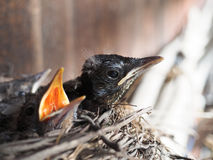 Baby swallows. In a crowded nest with mouths open for feeding time royalty free stock photography