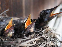 Baby swallows. In a crowded nest with mouths open for feeding time royalty free stock images