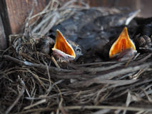 Baby swallows. In a crowded nest with mouths open for feeding time stock photography
