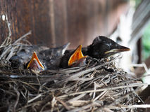 Baby swallows Stock Photos