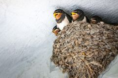 Baby swallows in nest. The Baby swallows in nest royalty free stock image