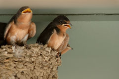Baby swallows in nest. Baby barn swallows on edge of mud nest royalty free stock photo