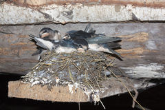 Baby swallows in nest Royalty Free Stock Images