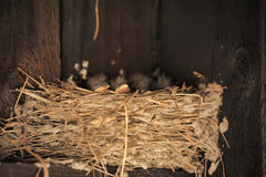 Baby swallows. In a nest stock image