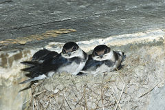 Baby swallows in nest Stock Images