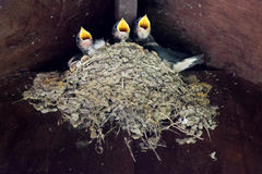 Baby Swallows on the nest. Baby Swallows nesting in the eaves of a porchway stock photos