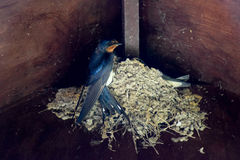 Baby Swallows on the nest. Baby Swallows nesting in the eaves of a porchway being fed by the mother/father stock photo