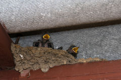 Baby swallows in the nest. Yelow-breaked swallow nestlings in the nest royalty free stock images