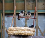 Baby swallows sitting near the nest. Two baby swallows sitting near the nest stock images