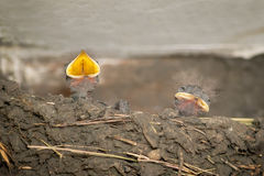 Baby swallows waiting for food. Close view of two baby swallows waiting for food royalty free stock images