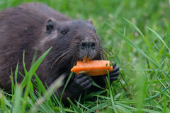 The baby swamp nutria beaver gnawing on a carrot Stock Photography