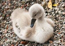 Baby swan Royalty Free Stock Photography