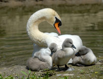 Baby swan Royalty Free Stock Images