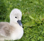 Baby Swan Stock Photos