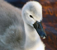 Baby Swan Stock Photography
