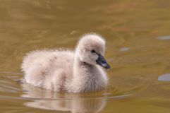 Baby swan Royalty Free Stock Image