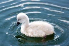 Baby swan Royalty Free Stock Photo