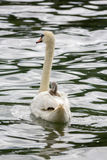 Baby swan cygnet is resting on mother` Royalty Free Stock Images