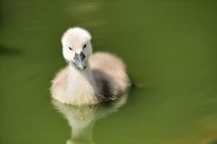 Swan cygnet Stock Images