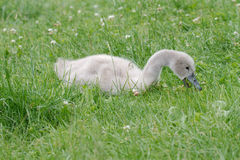 Baby swan feeding in the grass. A juvenile swan (Cygnus olor) is eating grass in a park stock images