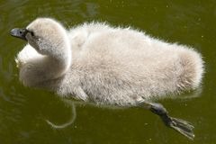 Baby Swan. A baby Swan, known as a Cygnet royalty free stock image
