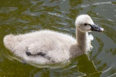 Baby Swan. A baby Swan, known as a Cygnet royalty free stock photos