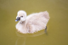 Baby swan on lake Royalty Free Stock Image