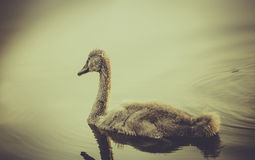 Baby swan Stock Images