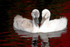 Baby Swan Siblings Royalty Free Stock Photo