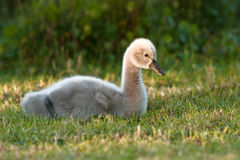 Baby swan sitting in grass Royalty Free Stock Photo