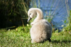 Baby swan sitting in grass Stock Photography