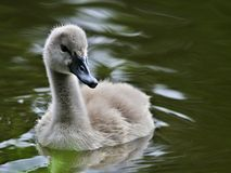 Baby swan in water Stock Photo