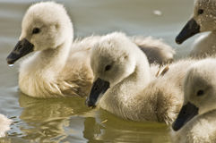 Baby swans. Cute baby swans  the pond Stock Images