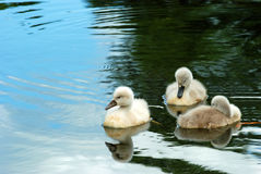 Baby swans Stock Photography