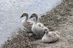 Baby swans Royalty Free Stock Photos