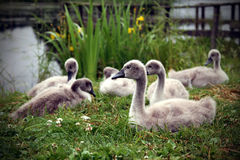 Baby Swans Royalty Free Stock Photography