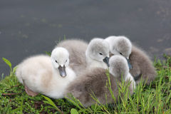 Baby swans. A closeup view of several newborn swans gathered at the waters edge Stock Image