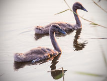 Baby swans Royalty Free Stock Photo