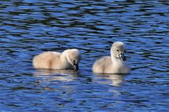 Baby Cygnets on the run. The baby Swans are called Cygnets. The swans wondered away from mom and seemed very content just floating on the pond with out a care in stock photography