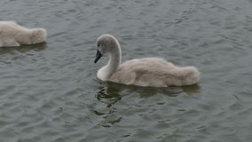 Baby Swans, Cygnets, paddling in the lake. HD 30+ seconds stock footage
